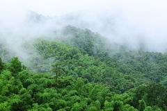 竹森林雨季 库存图片