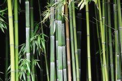 年轻竹森林 免版税库存照片