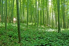 竹森林 库存照片