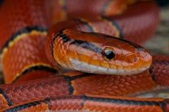 竹汇率红色蛇 免版税库存照片
