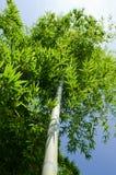 竹绿色结构树 免版税库存照片