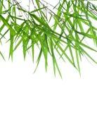 竹美好的绿色留下词根 库存照片