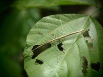 竹节虫目,蚂蚱打开在Baan grang的被吃的绿色叶子, 免版税库存图片