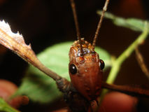 竹节虫目/Extatosoma tiaratum 库存图片