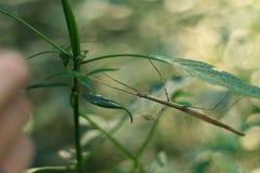 竹节虫,看见在一次迁徙的游览中在老挝 免版税库存图片