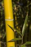 竹芦苇 库存照片