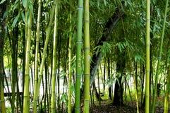 竹芦苇 免版税库存图片