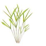 竹草叶子 免版税图库摄影