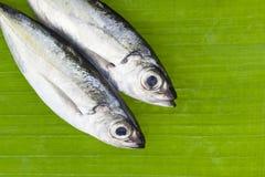 竹荚鱼类crumenophthalmus,大眼鲷在香蕉的大量鱼留下backgr 免版税库存照片