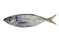竹荚鱼类crumenophthalmus,大眼鲷大量,在白色后面隔绝的鱼 库存照片