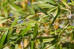 竹藤茎绿色在夏天 免版税库存图片