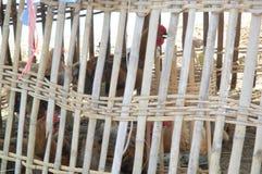 竹鸡场在中国 库存图片