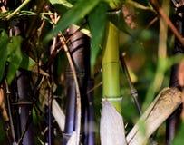 竹黑和绿色 免版税图库摄影