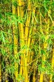竹巴西灌木装饰物材料 库存图片