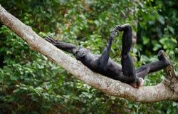 笑的倭黑猩猩 库存图片