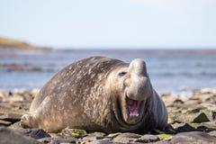 笑的微笑的南部的海象 库存图片