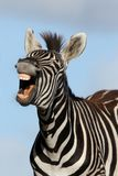 笑的斑马 免版税库存图片