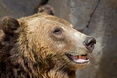 笑的棕熊 免版税库存照片