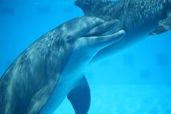 笑的海豚在水面下 免版税图库摄影