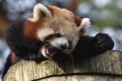 笑的熊猫红色 图库摄影