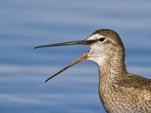 笑的被察觉的赤足鹬鸟 免版税库存照片