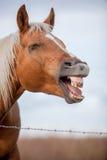 笑的马外形 图库摄影