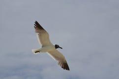 笑的鸥在飞行中与他的翼传播 免版税库存图片