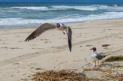 笑的鸥在飞行中在大西洋海滩 免版税库存图片