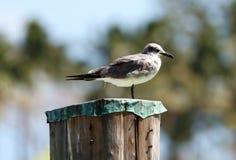 笑的鸥海鸥在南佛罗里达迈阿密海滩 库存图片