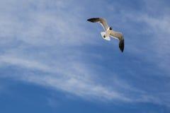 笑的鸥转动飞行中反对云彩,蓝天 免版税库存照片