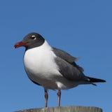 笑的鸥, Clearwater,佛罗里达 库存照片