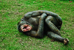 笑的猴子 免版税库存图片