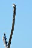 笑的kookaburra -澳大利亚鸟 库存图片