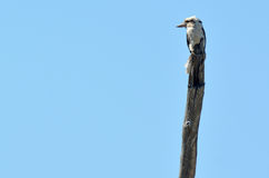 笑的kookaburra -澳大利亚鸟 库存照片
