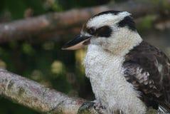笑的Kookaburra - Dacelo novaeguineae 库存照片