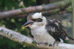 笑的Kookaburra - Dacelo novaeguineae 免版税库存图片