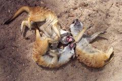 笑的meerkats 免版税库存图片