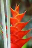 笔直heliconia花 库存照片