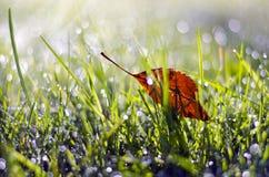 第一个在满地露水的草的夏天末端落的苹果树叶子 免版税库存照片