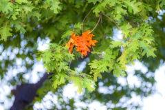 第一个小组叶子改变了在橡树,充满活力的桔子的肤色 免版税库存照片