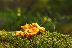 第一个年轻可食的真菌蘑菇在青苔增长在森林里 库存照片