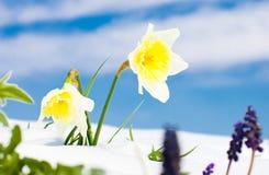 第一个春天黄水仙开花与雪反对蓝天 库存照片