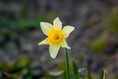第一个春天黄水仙 免版税库存图片