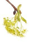 第一个板簧结构树 免版税库存照片