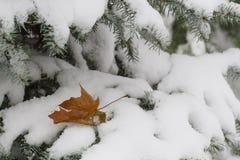 第一个积雪的冷杉分支 关闭 图库摄影