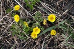 第一个蒲公英在春天开了花经过去年凋枯了草、背景或者概念 库存图片