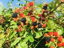 第一个黑莓 免版税库存照片