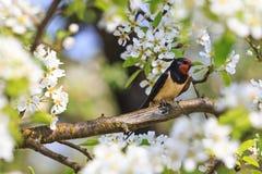 第一只燕子坐樱桃分支 免版税图库摄影