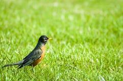第一只知更鸟 免版税库存照片
