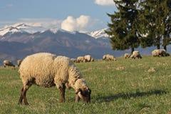 第一吃草的春天 免版税库存图片